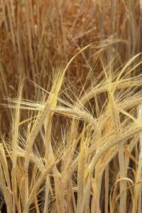 barley_w483_h725